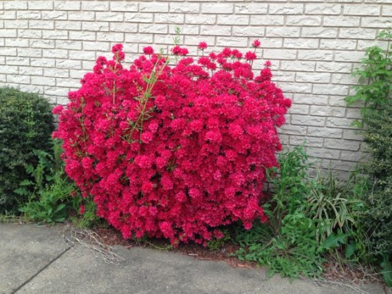 Brilliant red North Carolina azalea