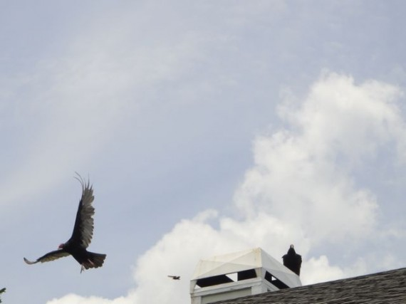 Two vultures on Florida home chimney