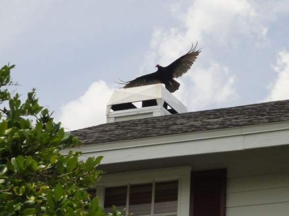 Florida vulture taking flight from rooftop
