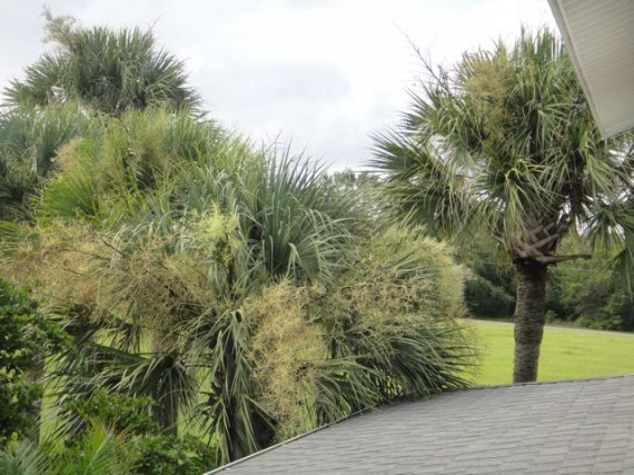 Sabal Palm before hurricane trim