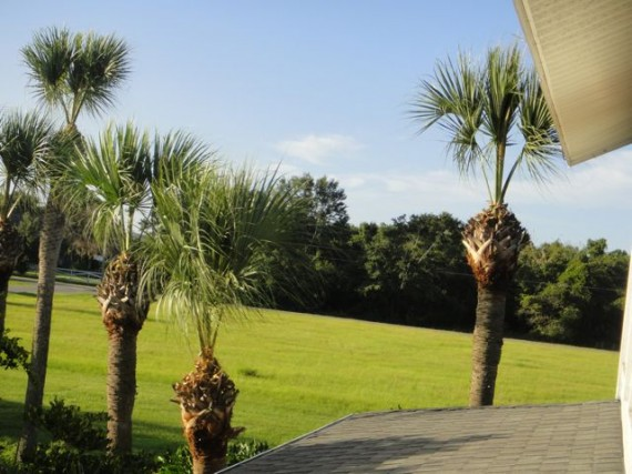 Sabal Palm after hurricane trim