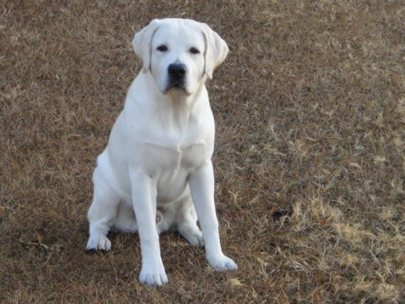 Young white Lab pup sitting at attention