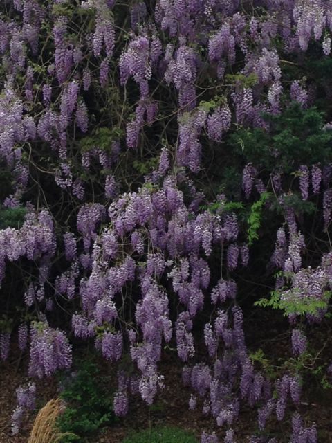 Blooming Wisteria in North Carolina