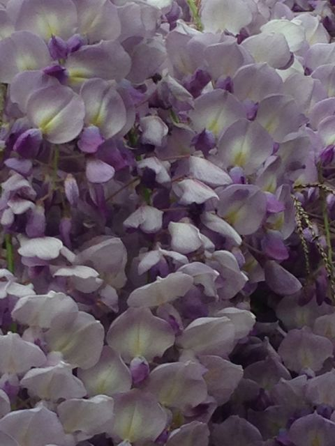 Wisteria vine in parking lot of abandoned business