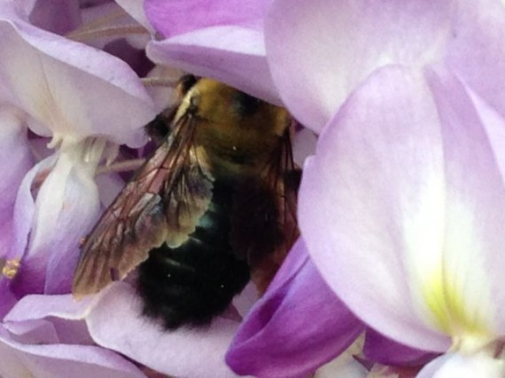 giant bumble bee drinking Wisteria nectar