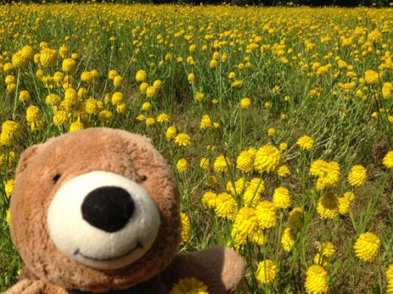 Teddy Bear in a meadow of yellow Florida wildflowers