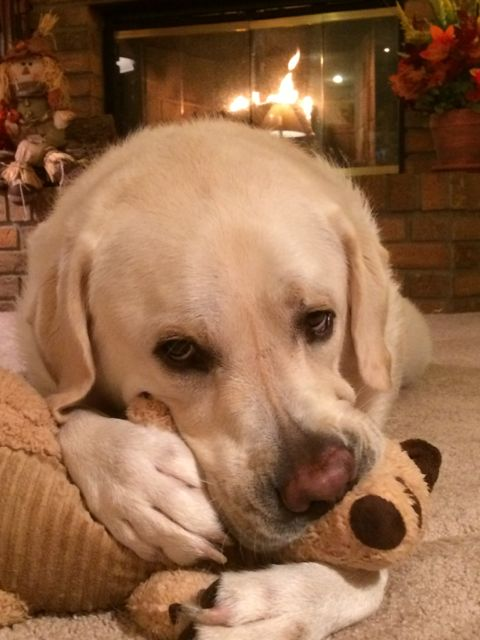 Yellow Lab with chew toy by fireplace