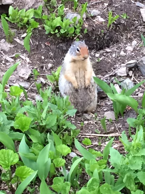Columbian Ground Squirrel at Logan Pass