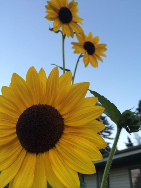 Colorado State Sunflowers