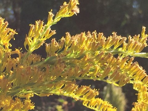 Florida Goldenrod flower