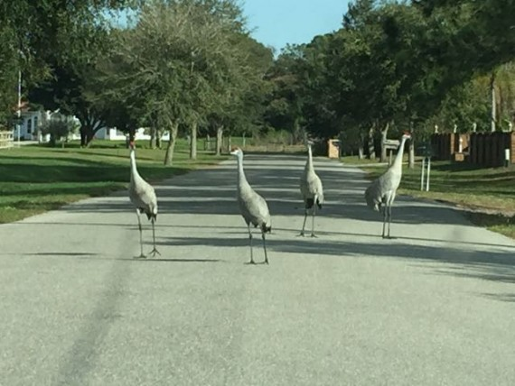 Four Florida Sand Hill Cranes in street
