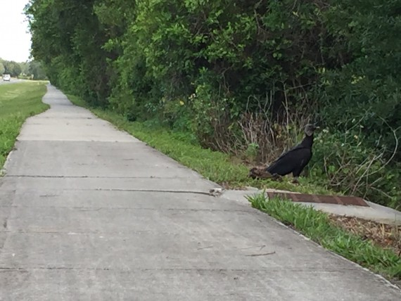 Vulture on sidewalk