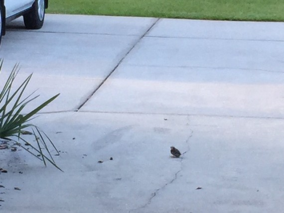 Baby bird on driveway in Florida