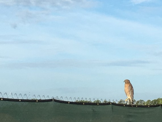 Florida hawk on a fence
