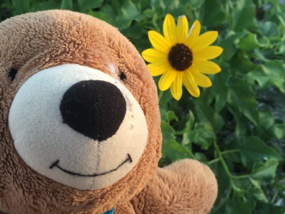 Florida beach sunflower and Teddy Bear