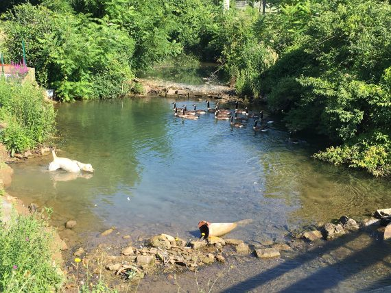 Yellow Lab in stream with Geese