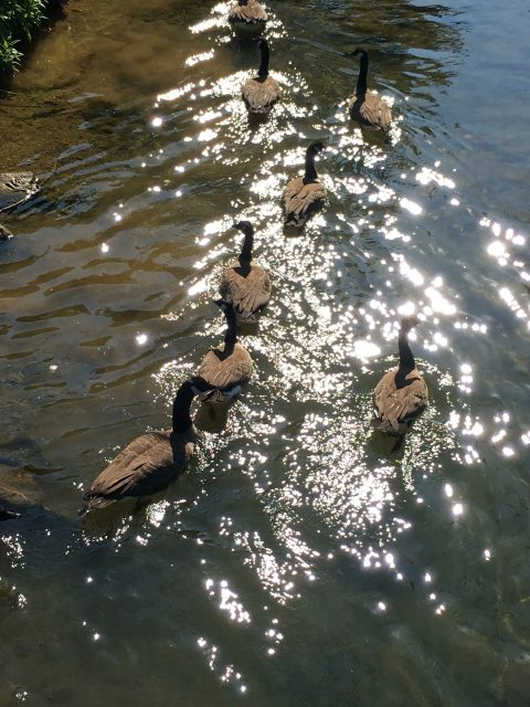 Geese swimming in a stream